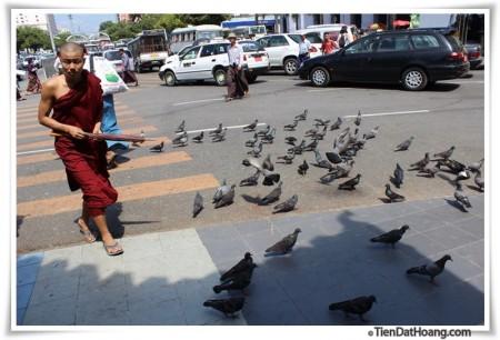 Chim câu ở chùa đền ở Yangon.