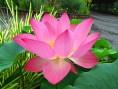 lotus-218257_640