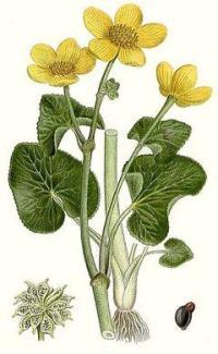 Калужница болотная: сорта растения, описание и его применение. Яркие краски сада в калужнице болотной