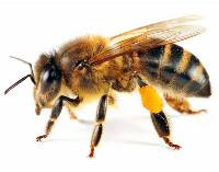 Modul în care varicele sunt tratate cu înțepături de albine