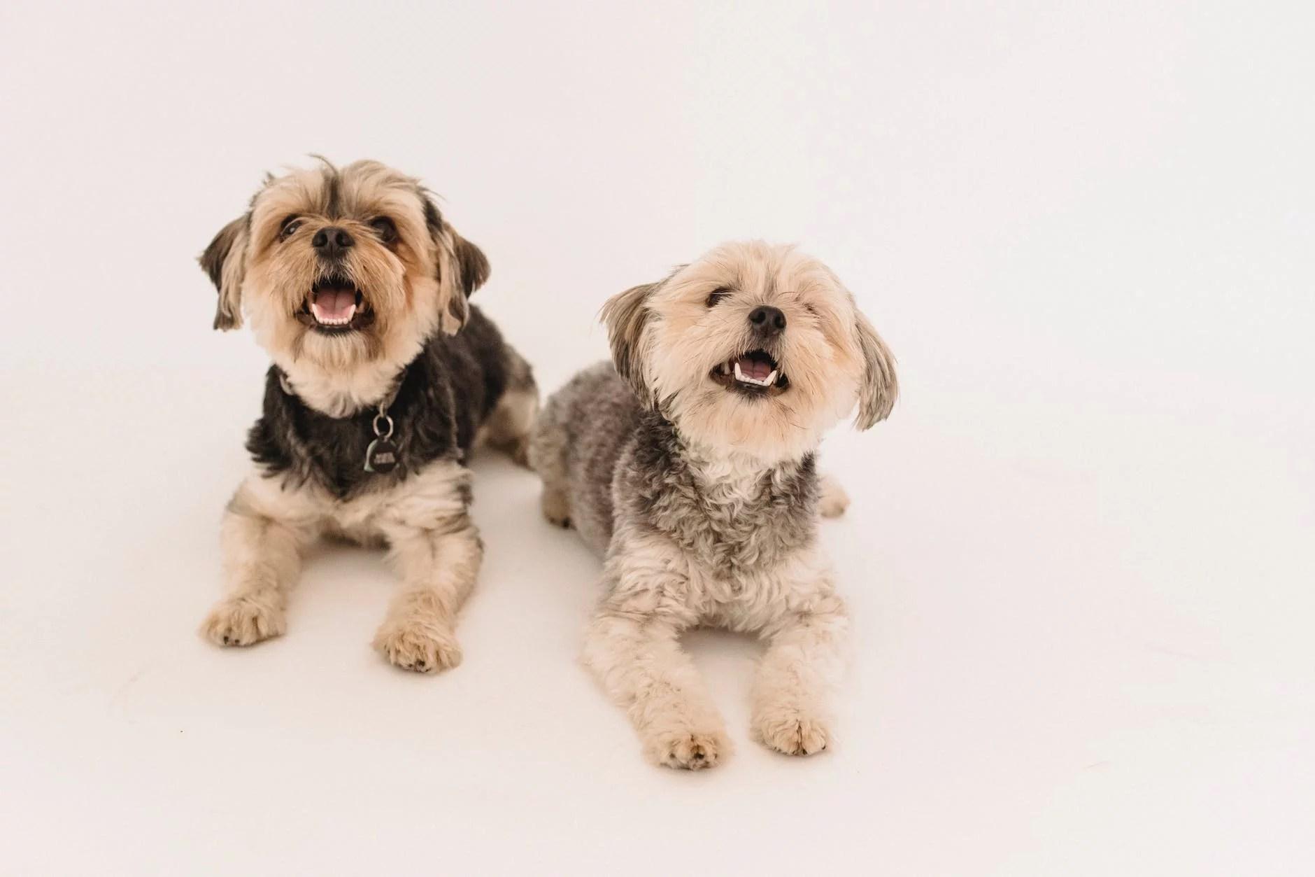 adorable happy yorkshire terrier dogs in studio