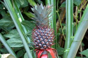 Lombok-Bergdorf-Ananas