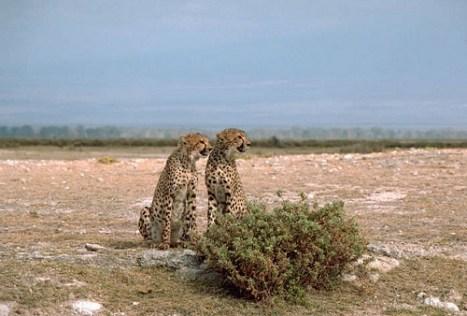 zwei Geparden spähen Beute aus.