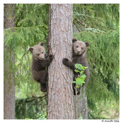 Bei Gefahr flüchten Kleinbären sofort auf einem Baum.