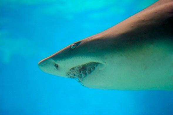 Der Bullenhai gilt als gefährlich für Menschen