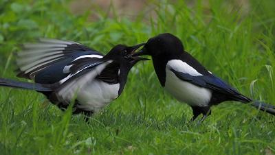 Der Jungvogel ist ausgeflogen und wird noch einige Zeit vom Altvogel weiterhin versorgt.