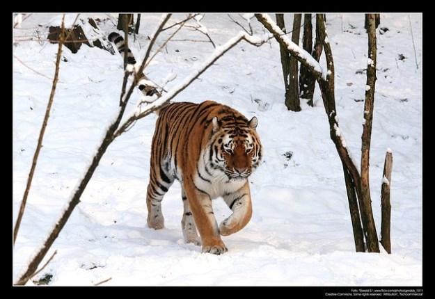 Der Sibirische Tiger ist eine bedrohte Tierart