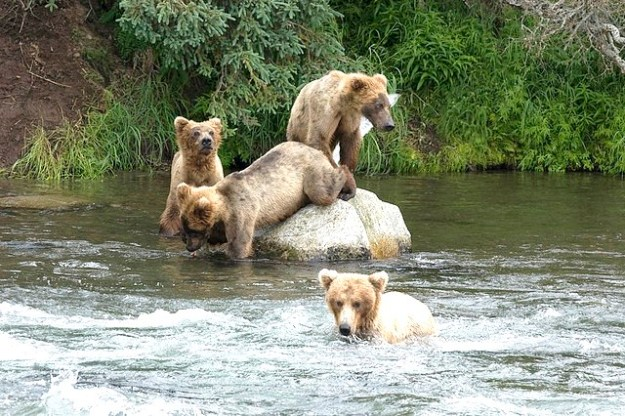 Junge Braunbären müssen lernen wie man Fische fängt
