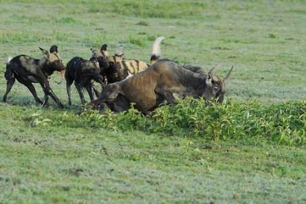 Wildhunde reißen ein Gnu.
