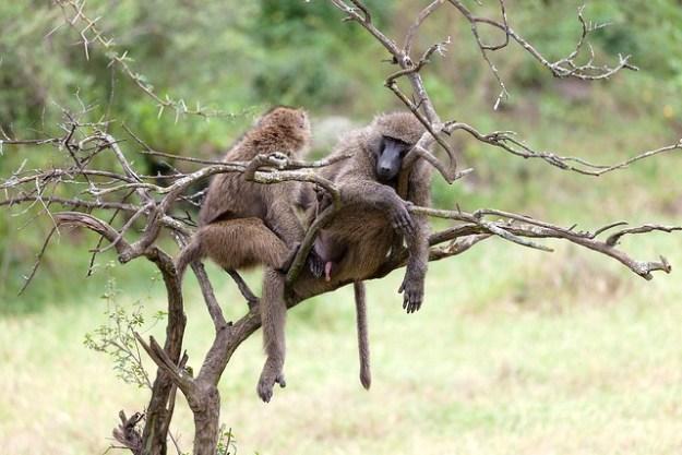 Der Pavian verteidigt sich gegenüber Feinden erbittlich.