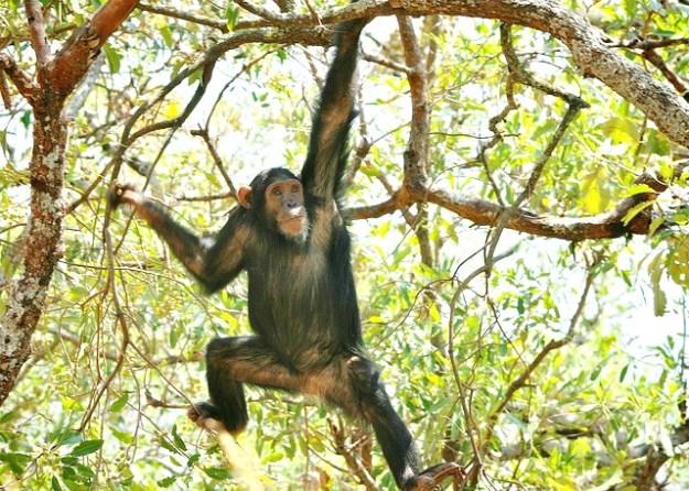 Die Arme der Schimpansen sind länger als die Beine.