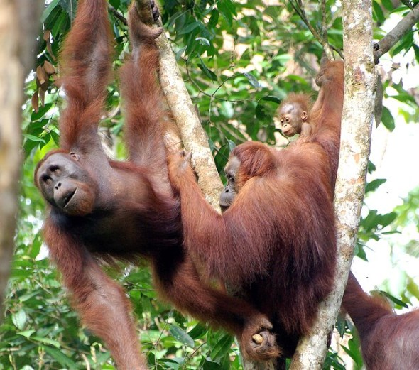 Orang Utans mit Baby in luftiger Höhe