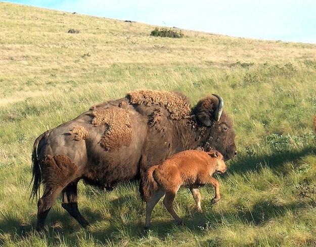 Bison-Weibchen mit Kalb in der Graslandschaft.