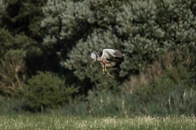 Die weitgehende Zerstörung großer Feuchtgebiete seit den 1950er Jahren hat zu einem starken Bestandsrückgang der Wiesenweihe geführt, damit ist der Greifvogel auf die Rote Liste gefährdeter Tierarten gelistet worden und vom Aussterben bedroht.