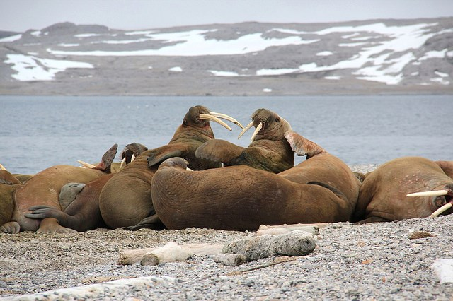 Image result for eisbären und walrosse