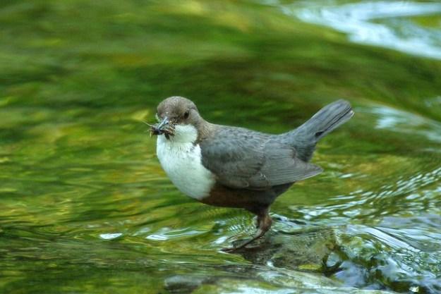 Wasseramsel Weibchen und Männchen sehen im Gefieder gleich aus.