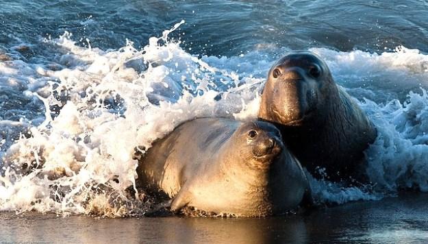 Die Nahrung der See-Elefanten sind Fische und Tintenfische, die sie in Tauchtiefen von 200 bis 600 Meter erbeuten.
