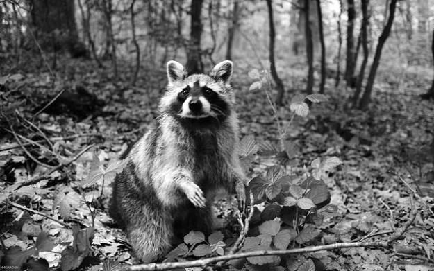 Bei Gefahr flüchtet der Waschbär auf einen Baum und meidet deshalb das offene Gelände.