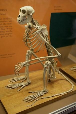 Proboscis Monkey (Nasalis larvatus) 2 1 Skelett Nasenaffe