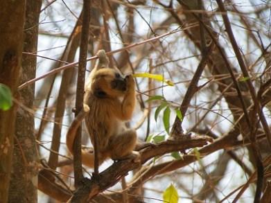 Junger Brüllaffe (Alouatta caraya).