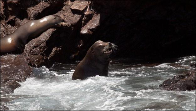 Kalifornische Seelöwen