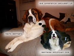 Der Bernhardiner ist eine Schweizer Hunderasse.