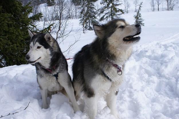 Der Alaskan Malamute ist der größte Schlittenhund.