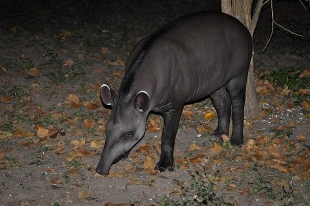 Der Flachlandtapir kommt am häufigsten vor.