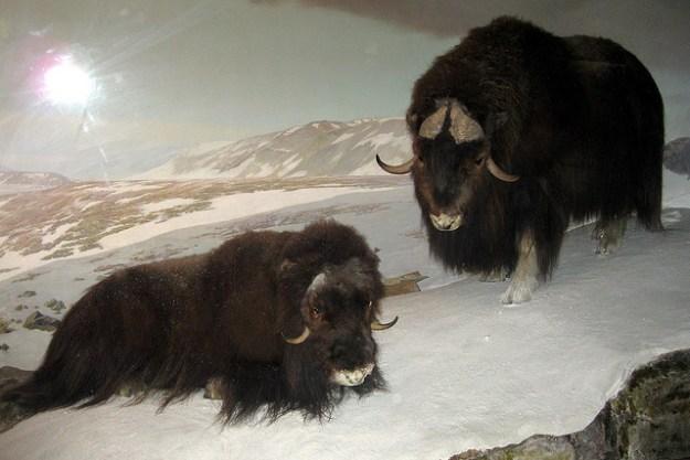 Zwei Moschusochsen in der Wildnis.