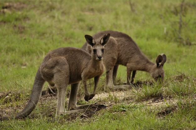 Östliche Graue Riesenkängurus fressen vorwiegend Gräser.