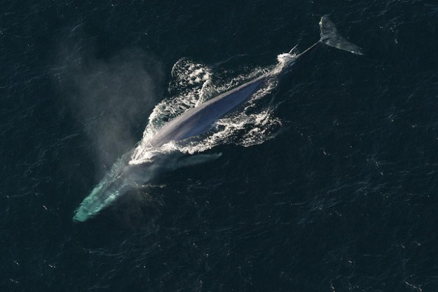 Ein Blauwal mit seiner gigantischen Größe auf der Wanderung.