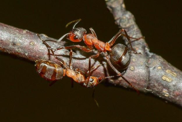 Die Rote Waldameise (Formica rufa) gehört zur Gattung der Waldameisen (Formica) in der Unterfamilie der Schuppenameisen (Formicinae).