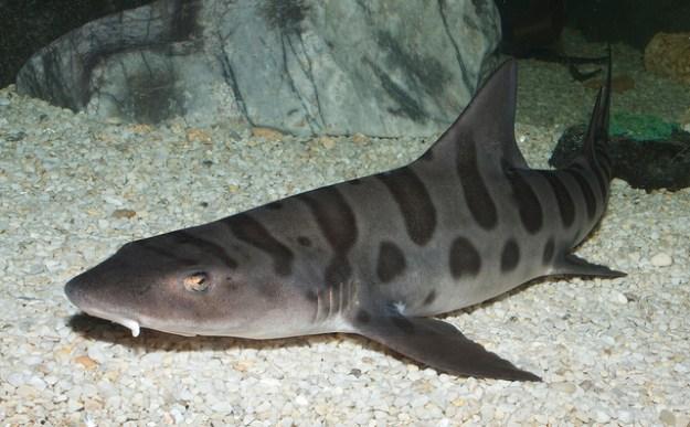 Leopardenhaie leben in geselligen Schulen und sind gute Schwimmer.