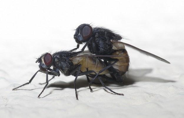 Stubenfliegen sind Überträger diverser Infektionskrankheiten.