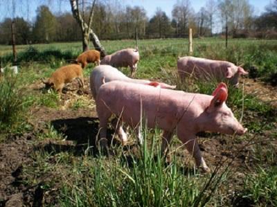 Eine vorbildliche Schweinehaltung auf der Wiese, wo die Tiere auch mal die Sonne sehen können.