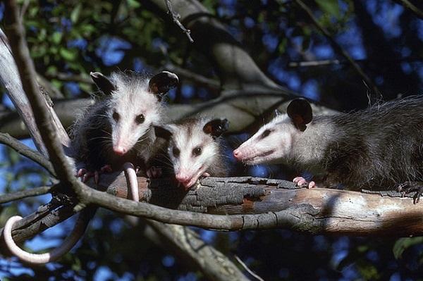 Nordopossums schlafen ca. 18 Stunden am Tag.