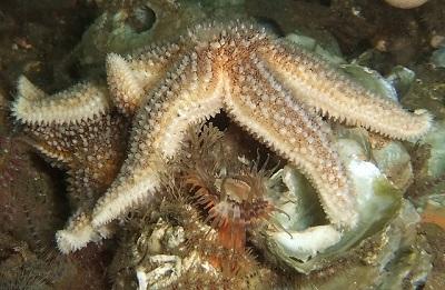 Gemeiner Seestern (Asterias rubens) ist eine Art aus der Ordnung der Zangensterne (Forcipulata).
