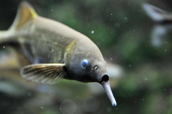 Im Aquarium braucht der Elefantenrüsselfisch viele Versteckmöglichkeiten.