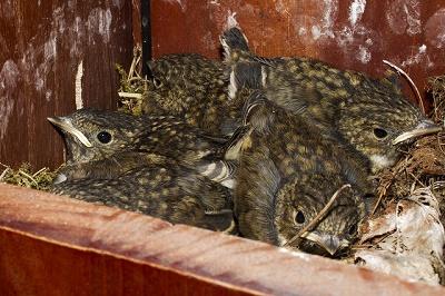 Jungvögel Trauerschnäpper warten geduldig im Nest auf Futter der Eltern.