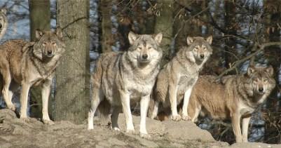 Ein Wolfsrudel hat Beute im Visier.