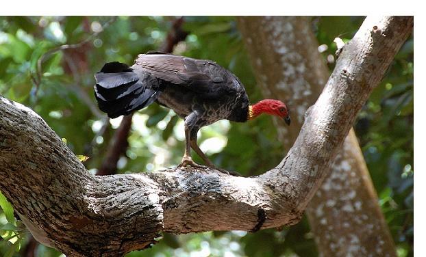 Großfußhühner sind Bodenbewohner, die in Australien, Neuguinea und Indonesien zu Hause sind.