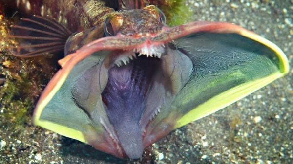 Hechtschleimfisch Maul