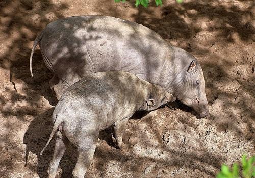 Hirscheber-Weibchen mit Jungtier.
