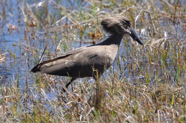 Hammerkopf (Vogel)