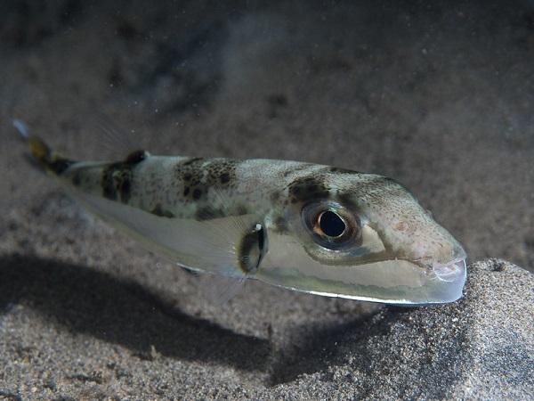 Hasenkopf-Kugelfisch