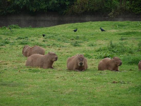 Capybaras