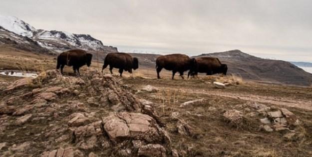 Freilebende Bisons
