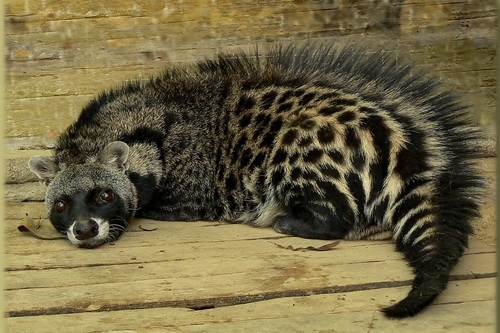 Afrikanische Zibetkatze