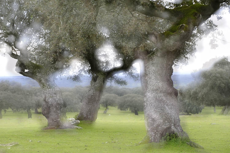 Op wandelvakantie in Extremadura kom je veel door dehesa's, weidevelden met veelal steeneiken