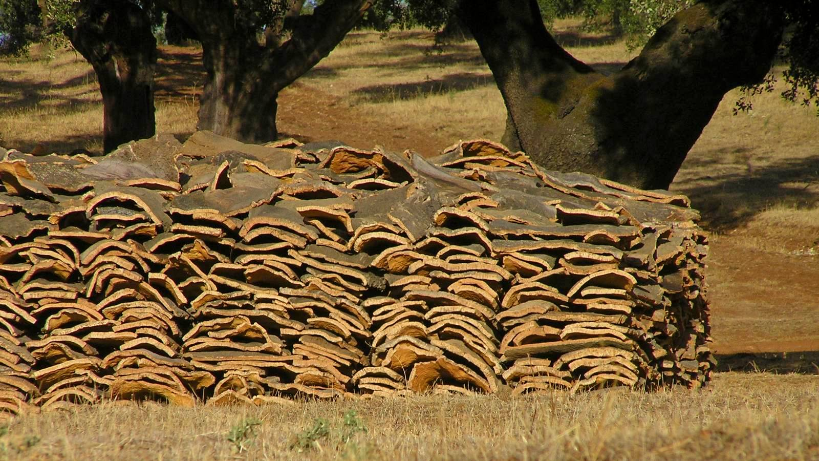 Kurkoogst klaar voor verwerking in Extremadura